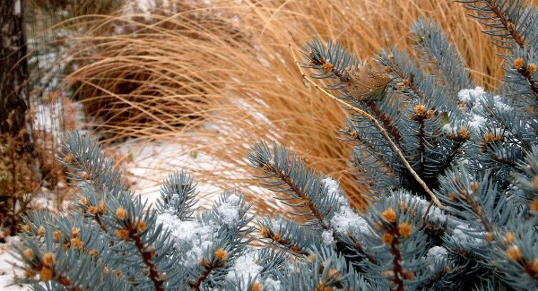 17dec2010-firs-grasses600x325