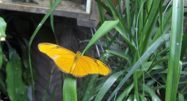 yellow-butterfly600x325