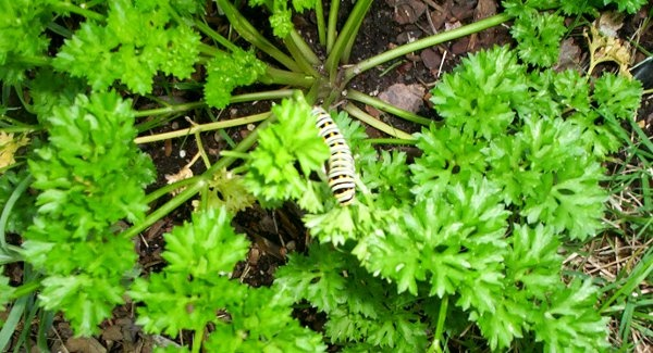 100_3596_0092-caterpillar600x325