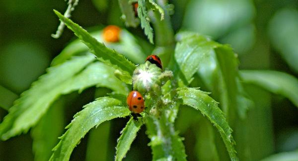 ladybug-3-600x325